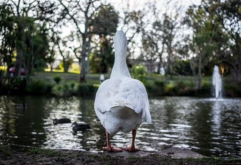 duck-1033310__340.jpg