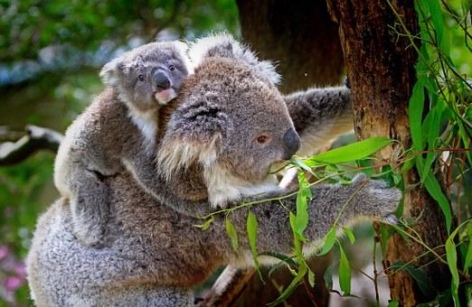 koala-61189__340