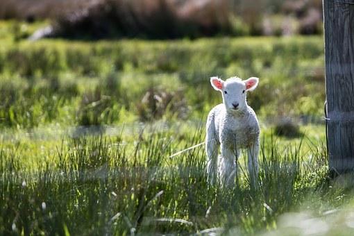 lamb-1081950__340