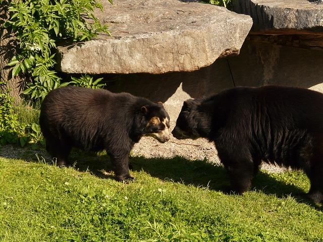 spectacled-bear-77041_640.jpg