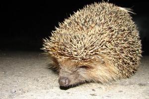 hedgehog-680212_640