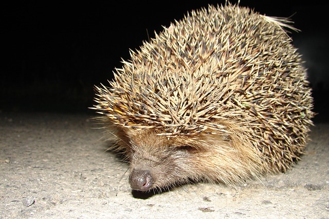 hedgehog-680212_640.jpg