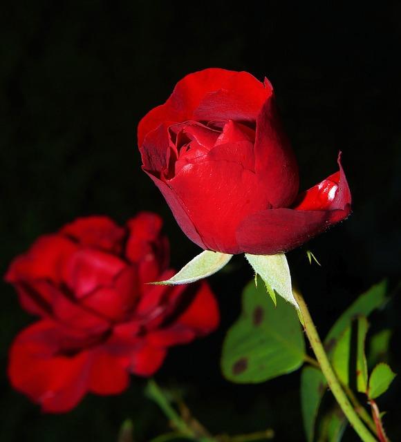 rose-419079_640.jpg