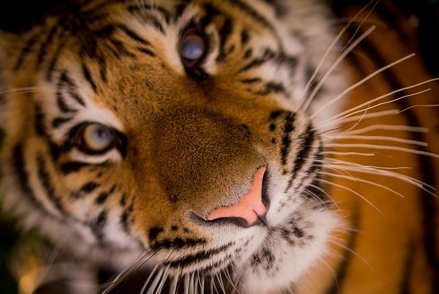 tiger-498543_640.jpg
