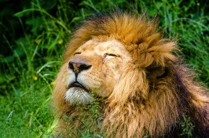 african-lion-951778_640
