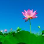 lotus-563456_640