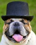 bulldog-2489829_640